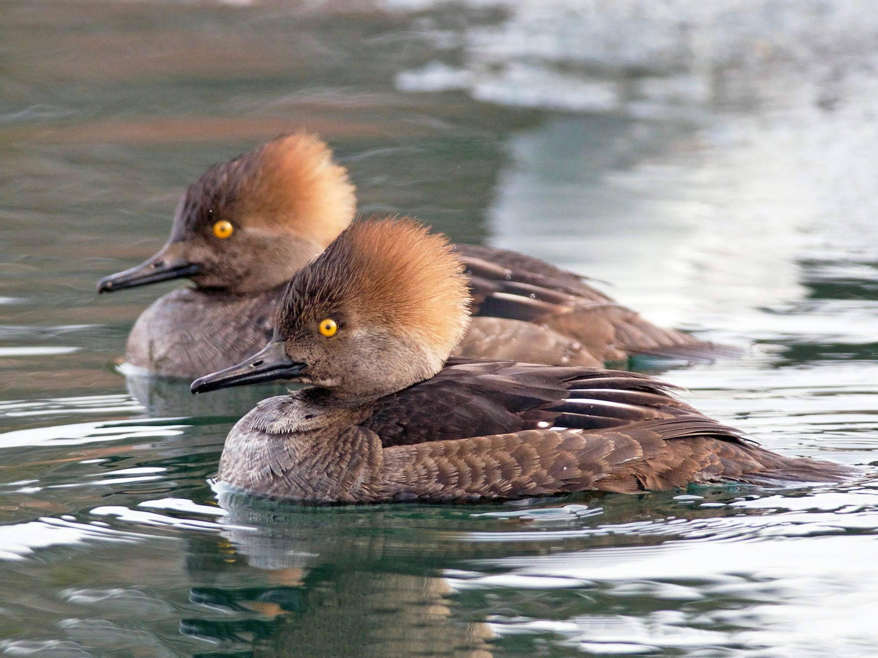 Hooded Merganser - Amanda Guercio