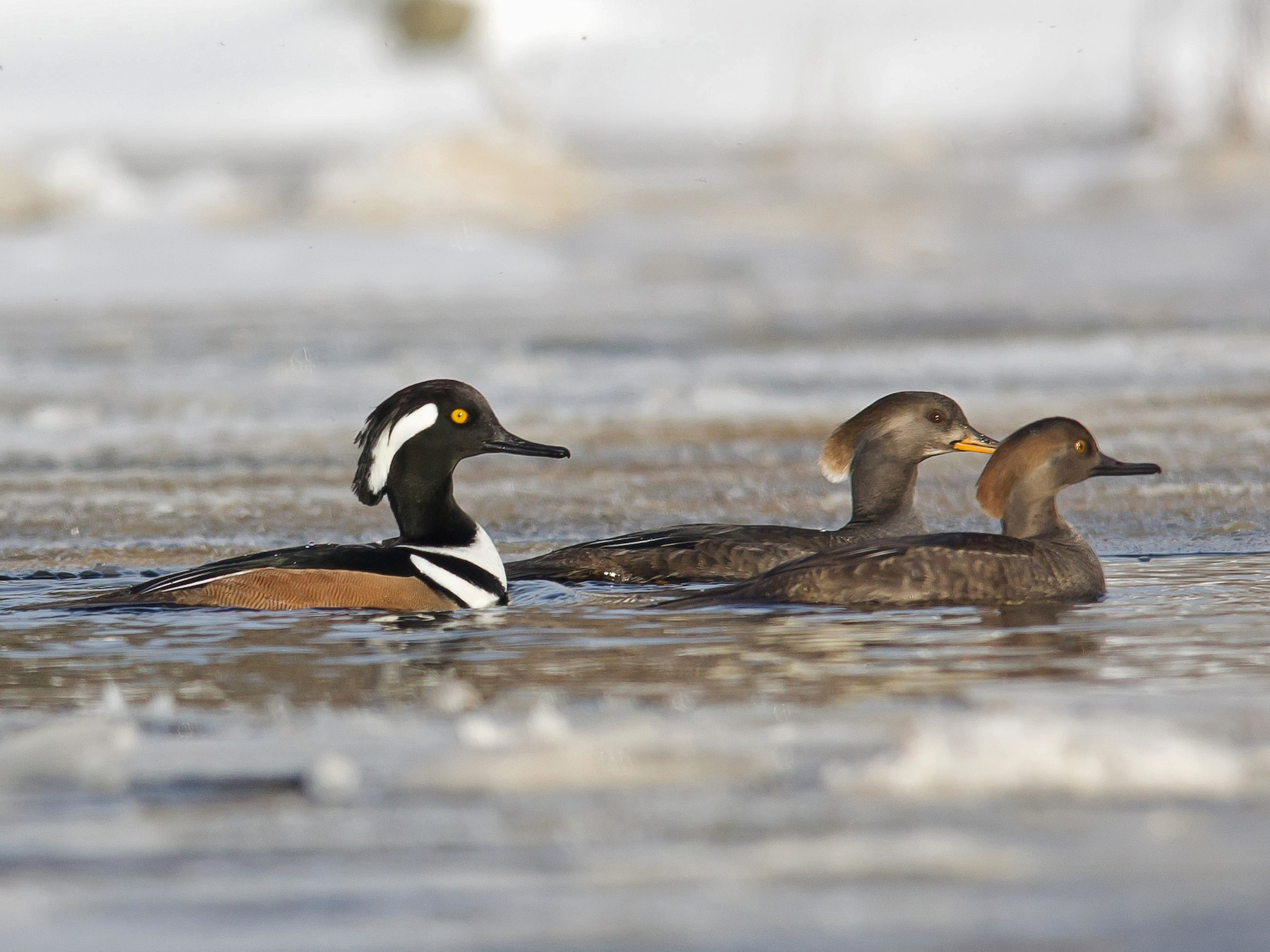 Hooded Merganser - Alix d'Entremont