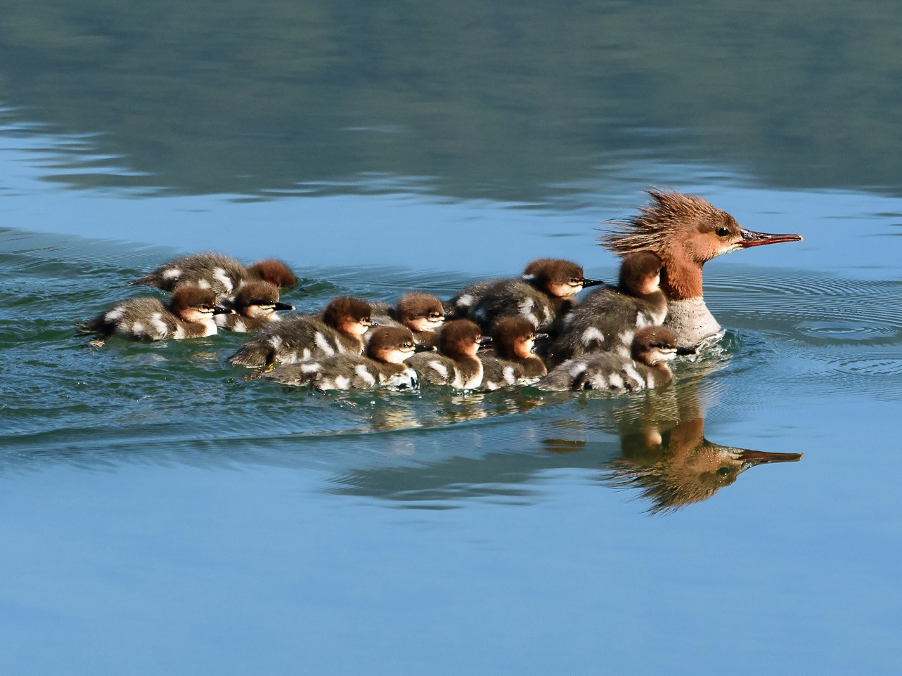 Common Merganser - George Pagos