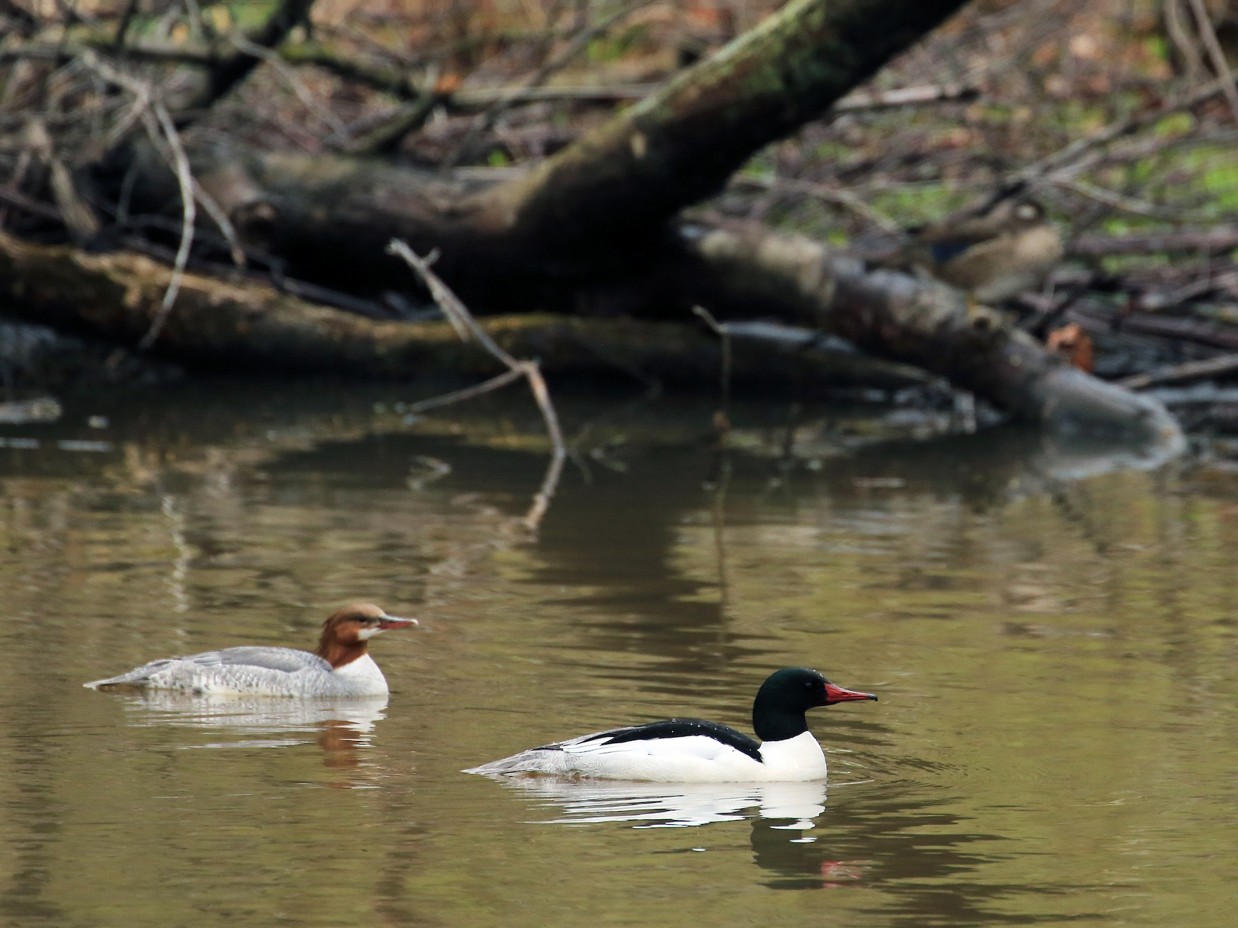 Common Merganser - Tim Lenz