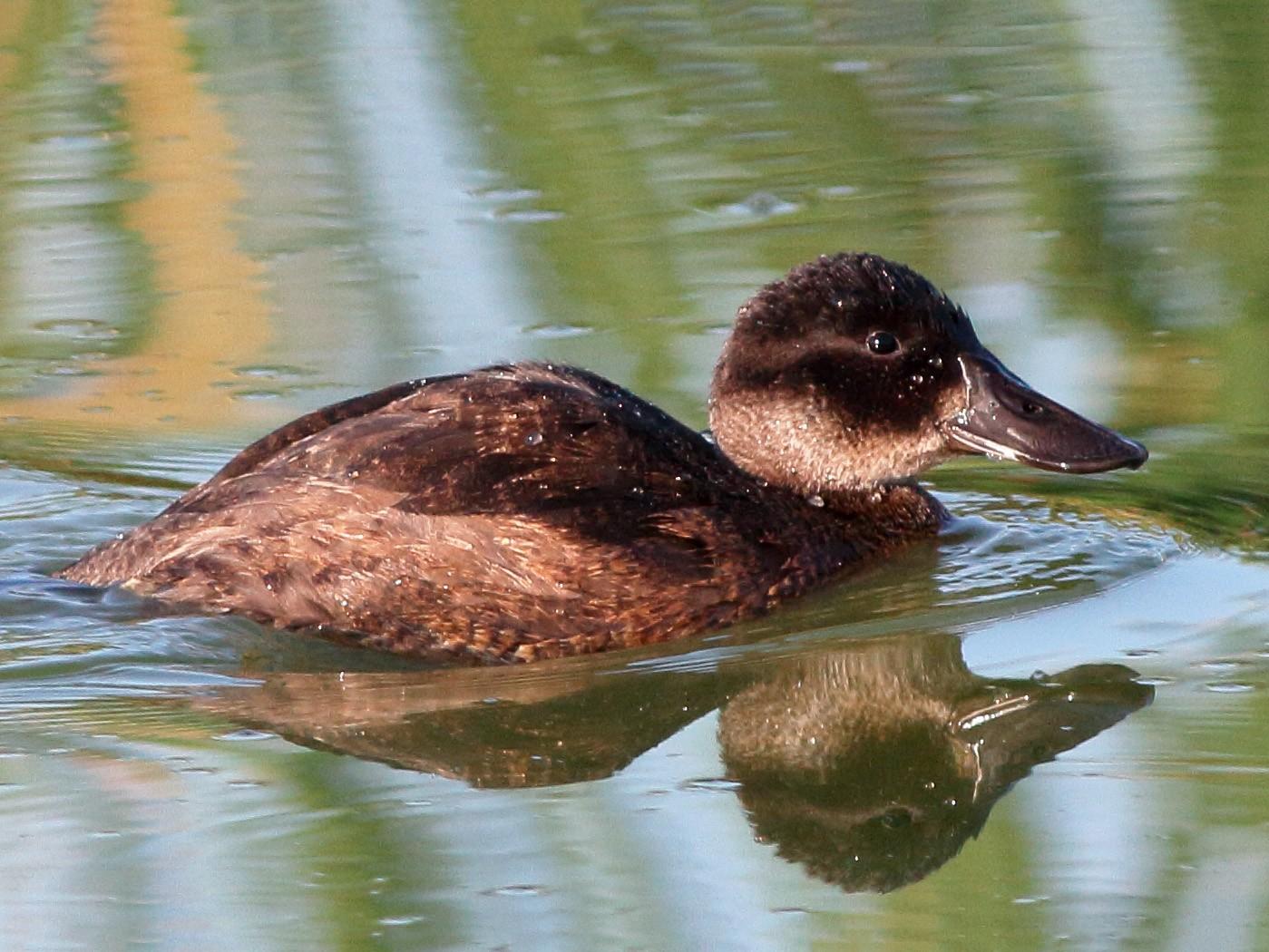 Andean Duck - Manfred Bienert