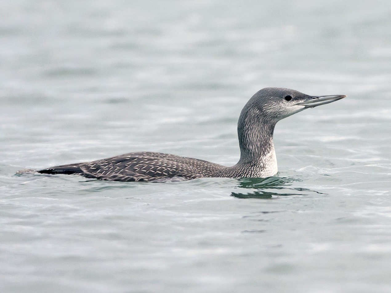 Red-throated Loon - Joshua Covill