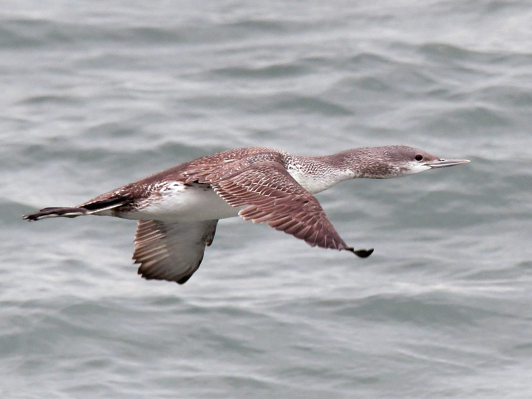 Red-throated Loon - Jesse Anderson