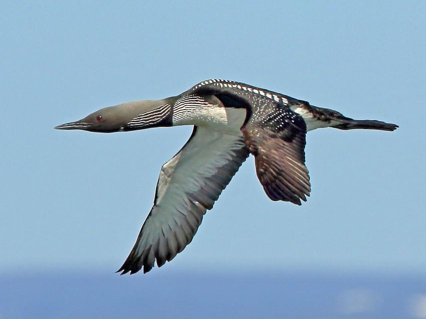Pacific Loon - Nigel Voaden