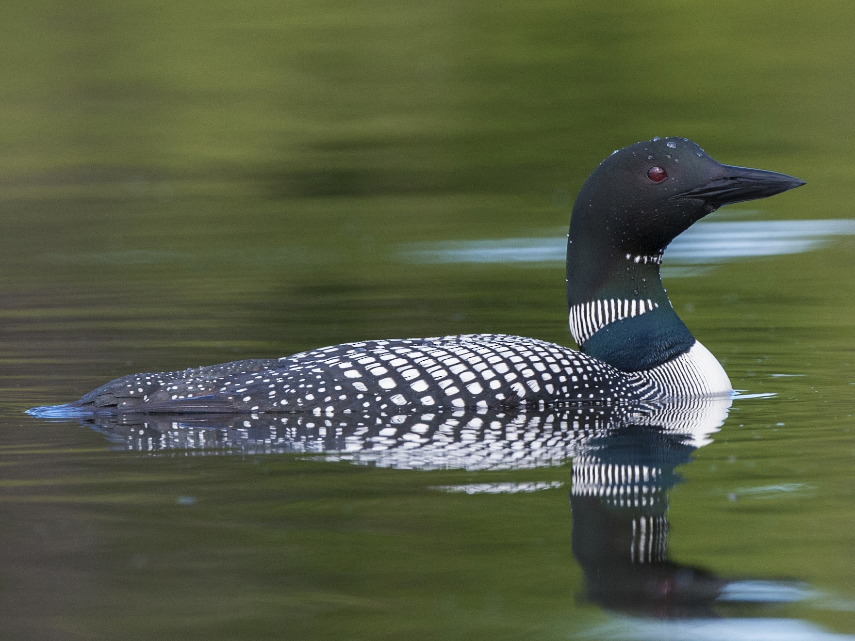 Common Loon - Cliff Peterson
