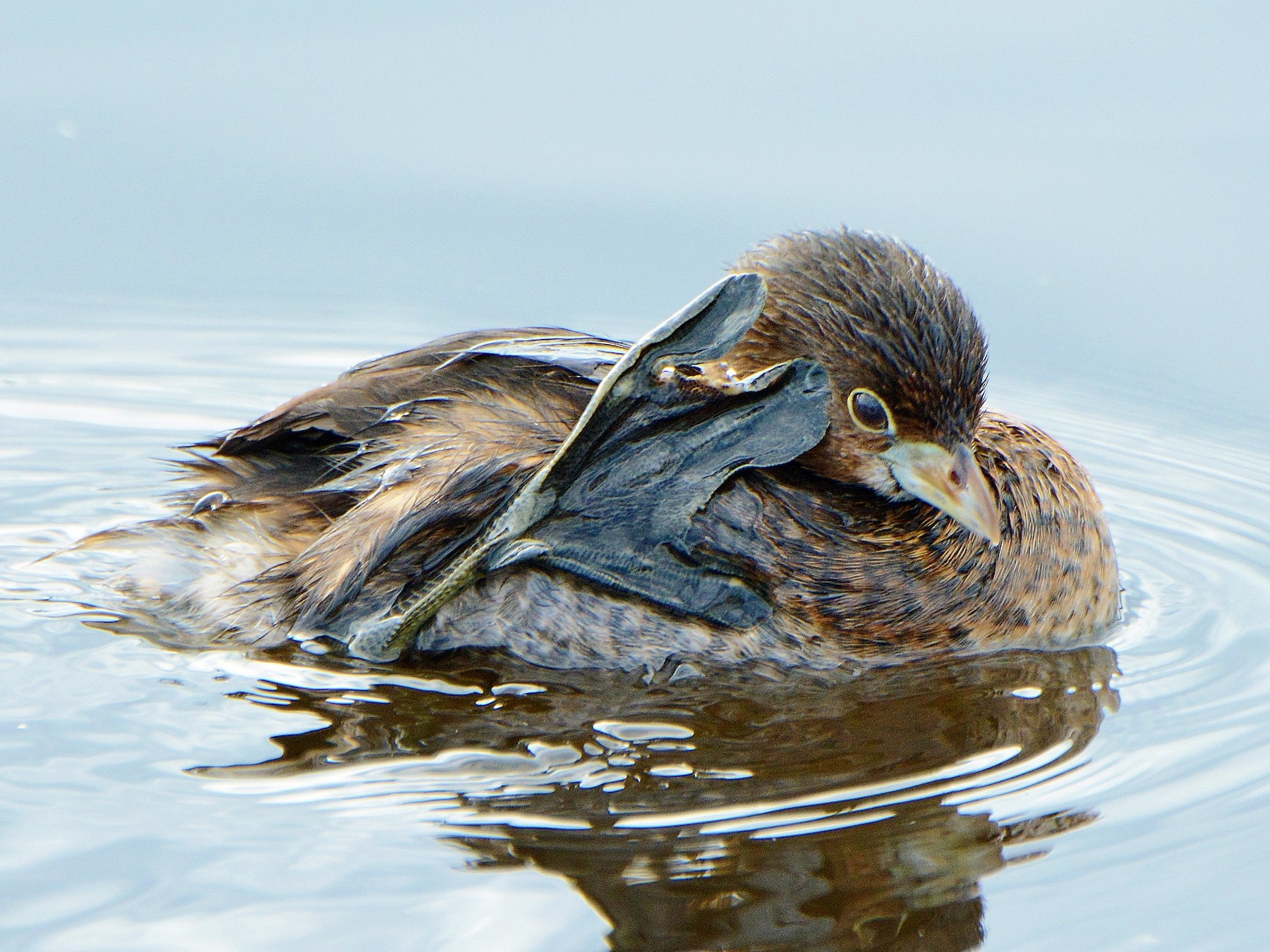 Pied-billed Grebe - Kim  Beardmore