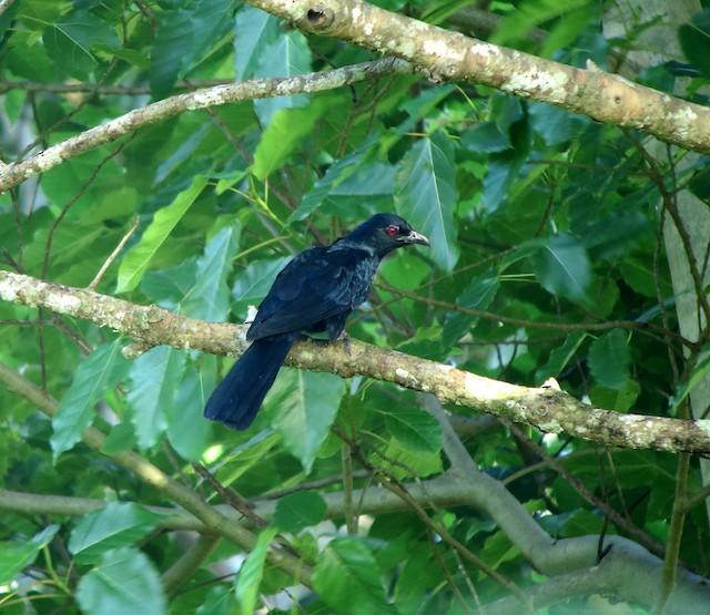 Black-billed Koel