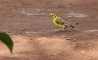 - Yellow-crowned Canary