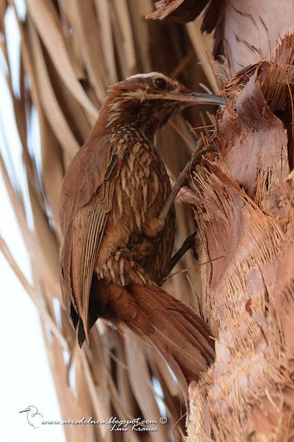 Scimitar-billed Woodcreeper