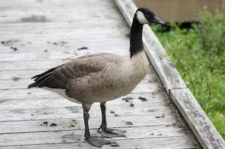 Canada Goose, ML64026361