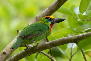 - Red-throated Barbet