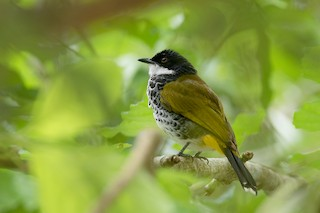 - Scaly-breasted Bulbul