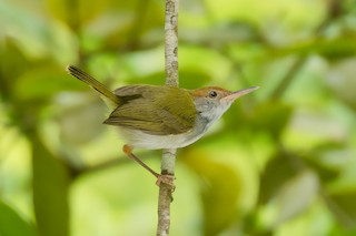- Dark-necked Tailorbird
