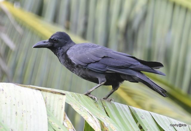 ©raphy kallettumkara - Large-billed Crow (Indian Jungle)