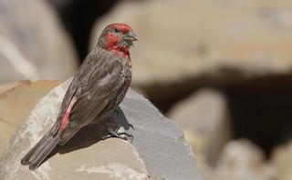 - Red-fronted Rosefinch