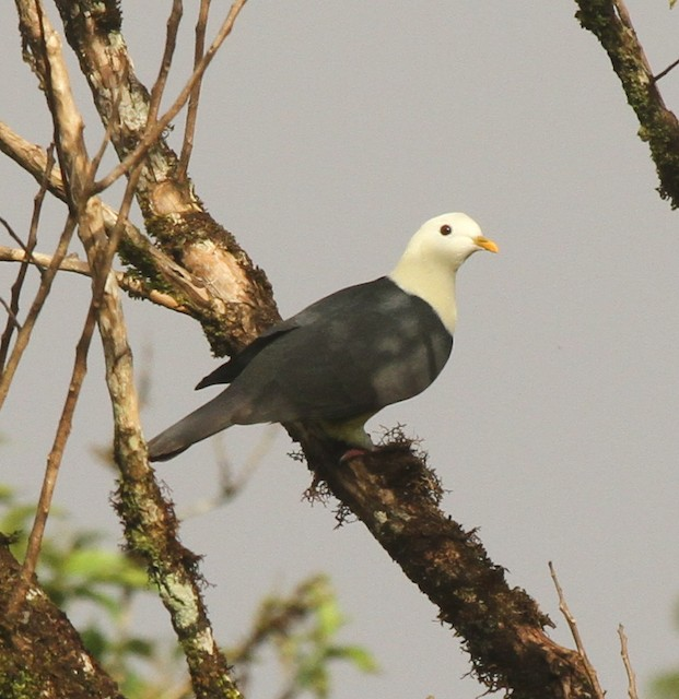 Black-backed Fruit-Dove