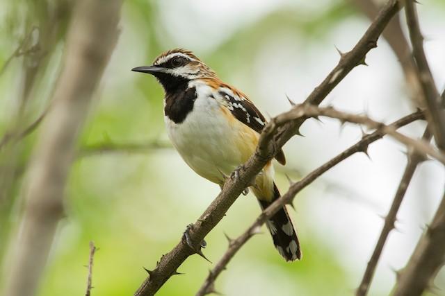 Stripe-backed Antbird