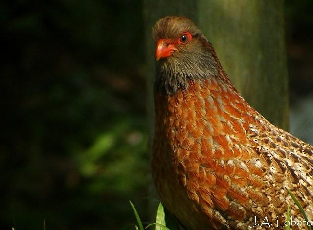 Bearded Wood-Partridge