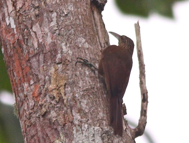 Strong-billed Woodcreeper (Andean/Northern)