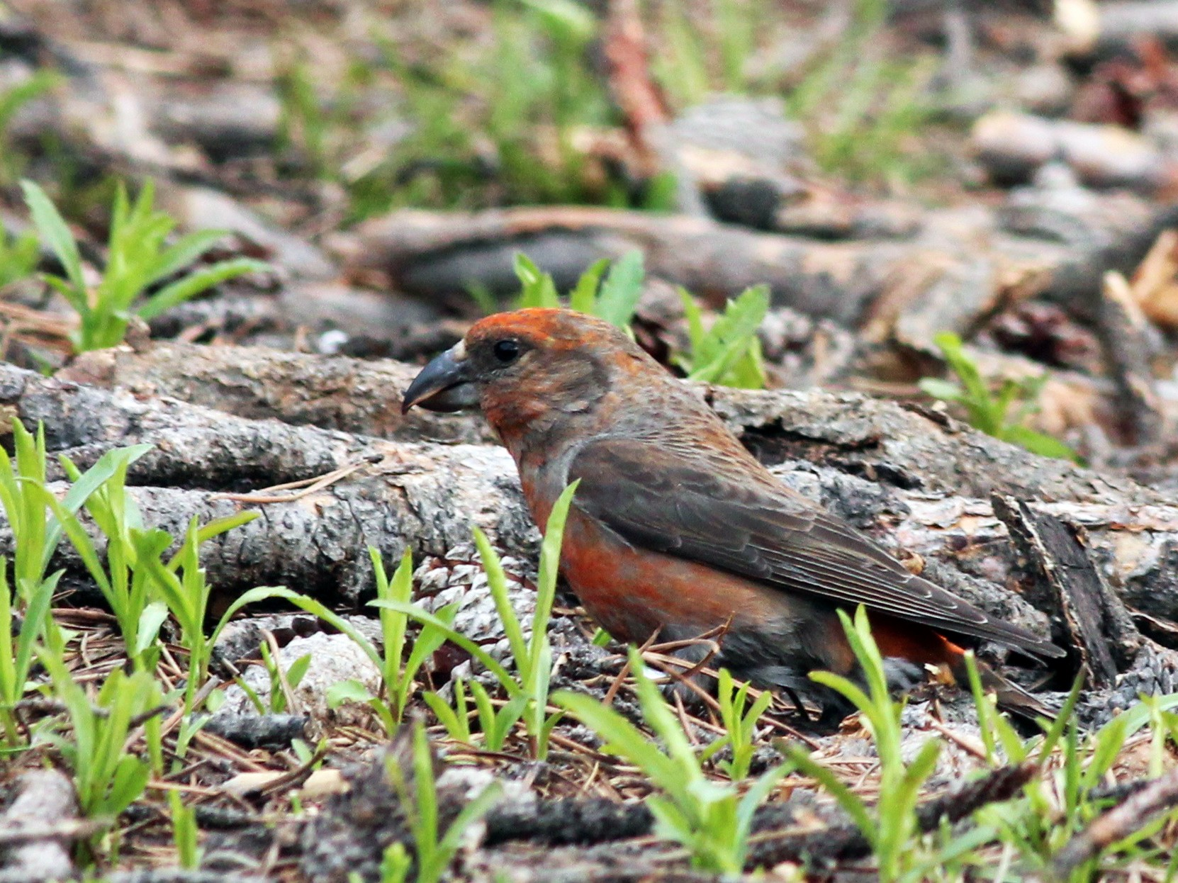 Cassia Crossbill - Shawn Billerman