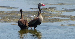 Black-bellied Whistling-Duck, ML64409461