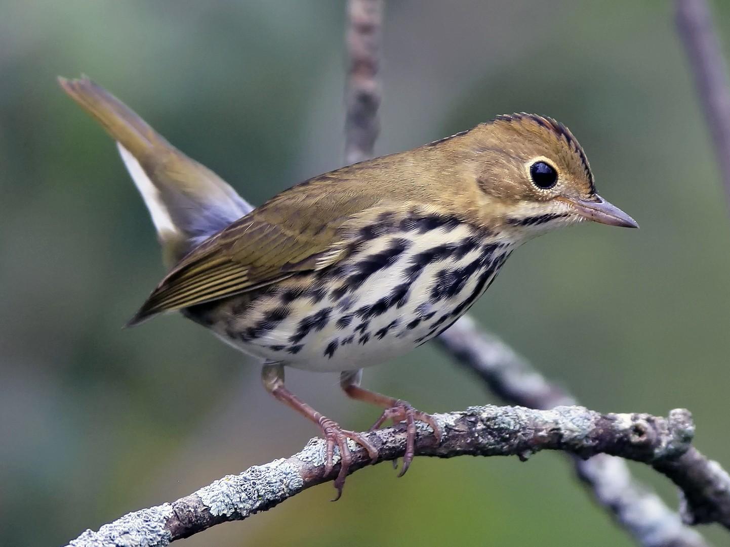 Ovenbird - Don Blecha