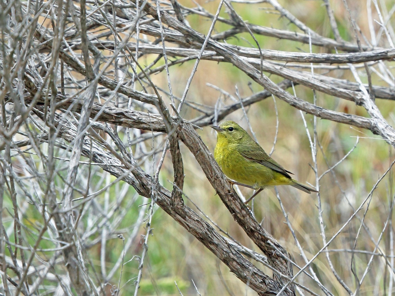 Orange-crowned Warbler - Nigel Voaden