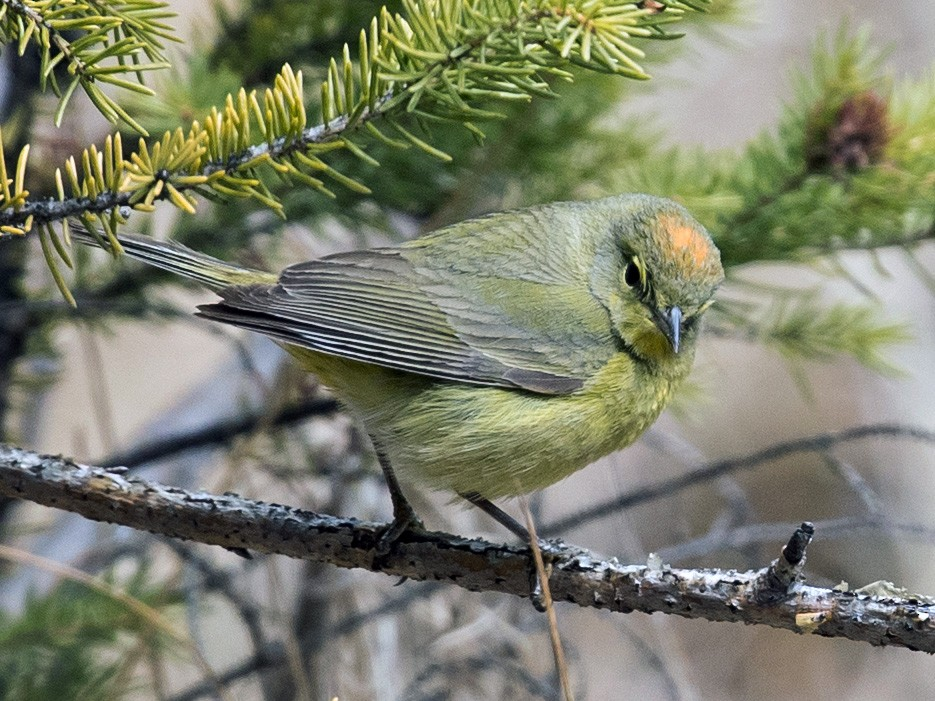 Orange-crowned Warbler - Caroline Lambert