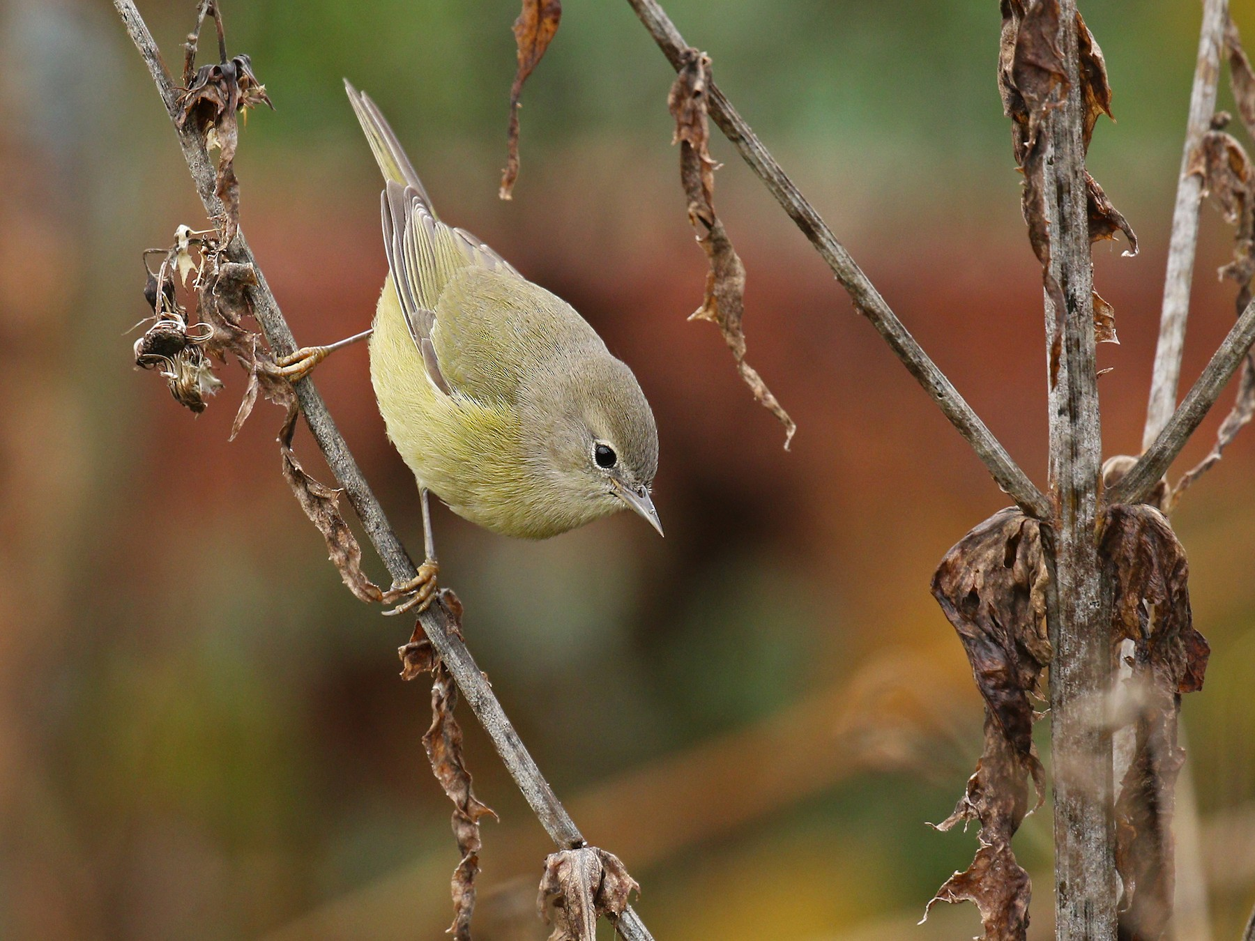Orange-crowned Warbler - Ryan Schain