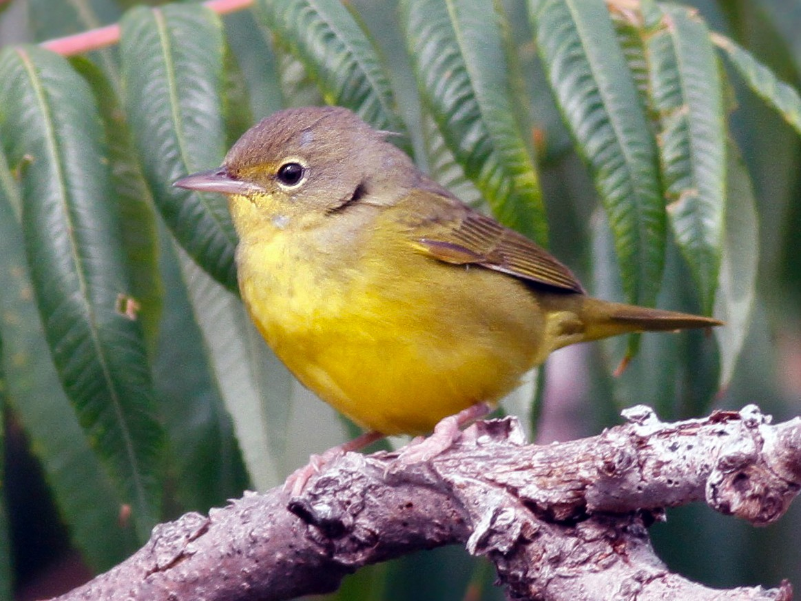 Mourning Warbler - Davey Walters