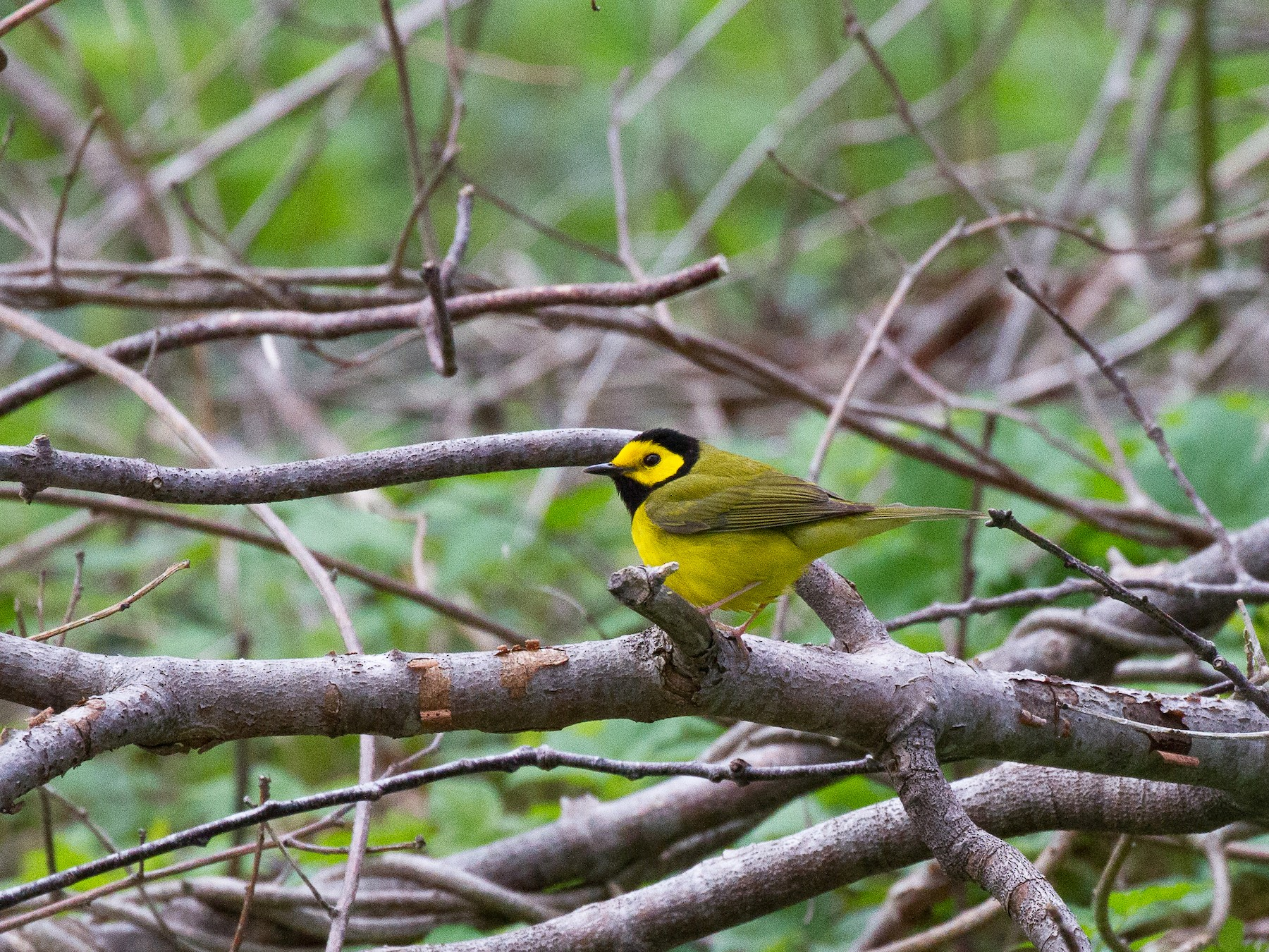 Hooded Warbler - Griffin Richards
