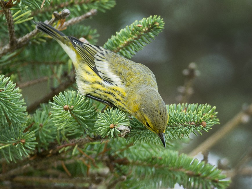 Cape May Warbler - Lucas Berrigan