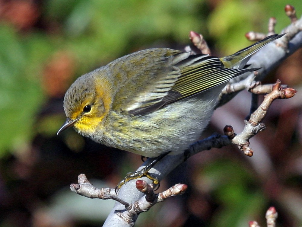 Cape May Warbler - Yves Dugré