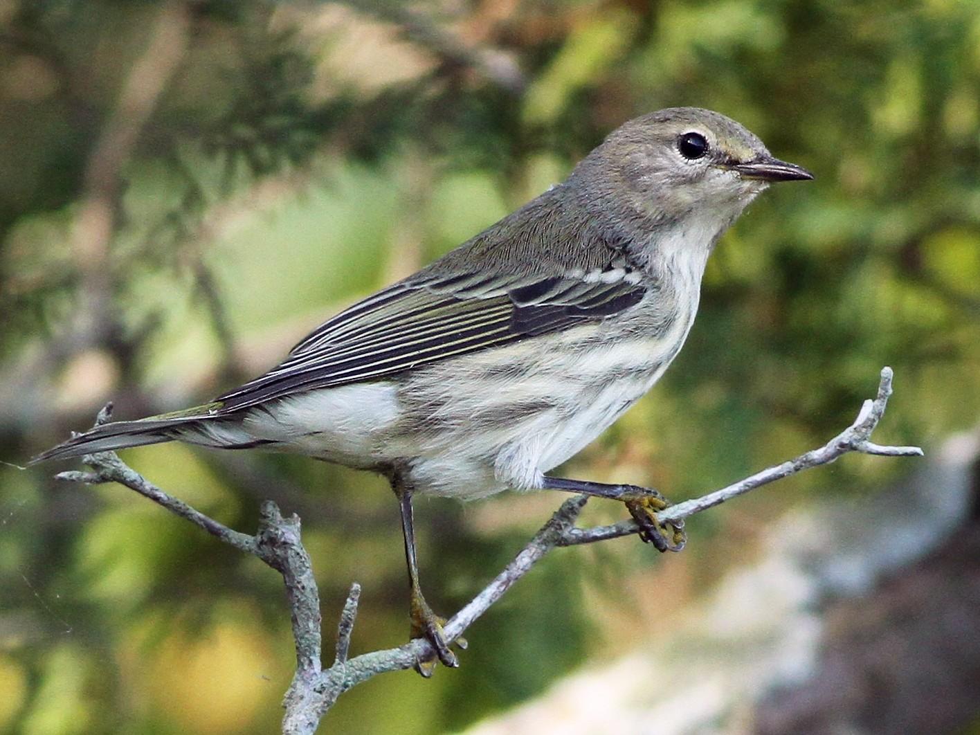 Cape May Warbler - Evan Lipton