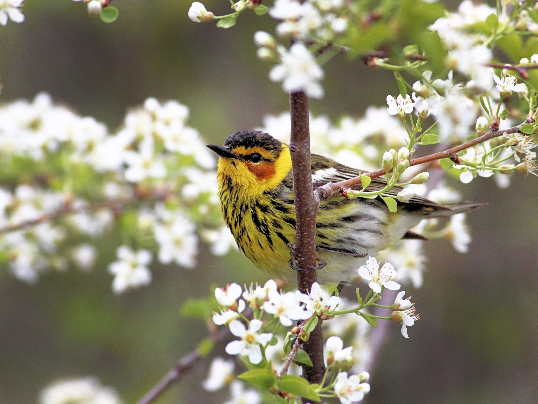 Cape May Warbler - John  Cameron