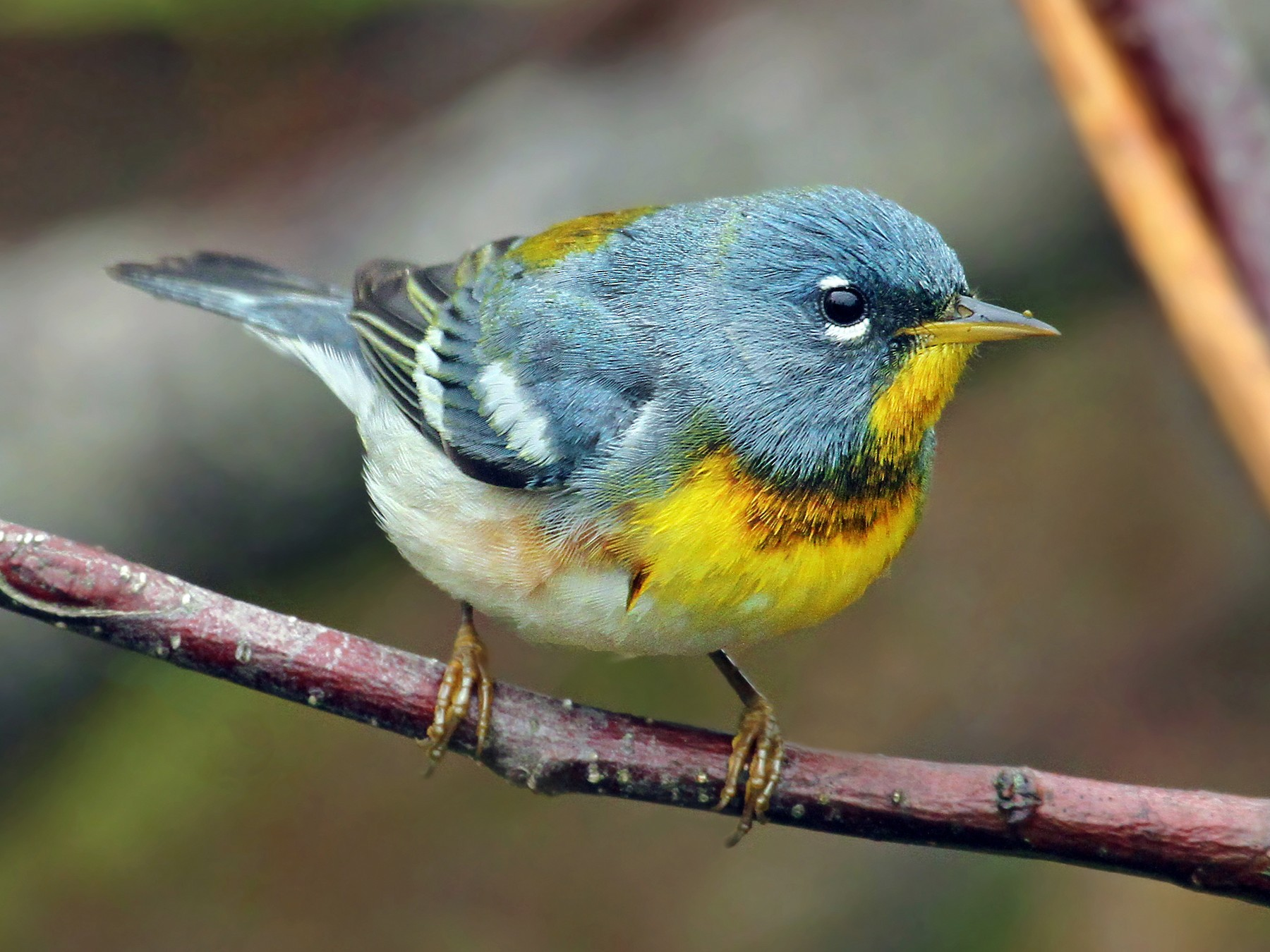 Northern Parula - Ryan Schain