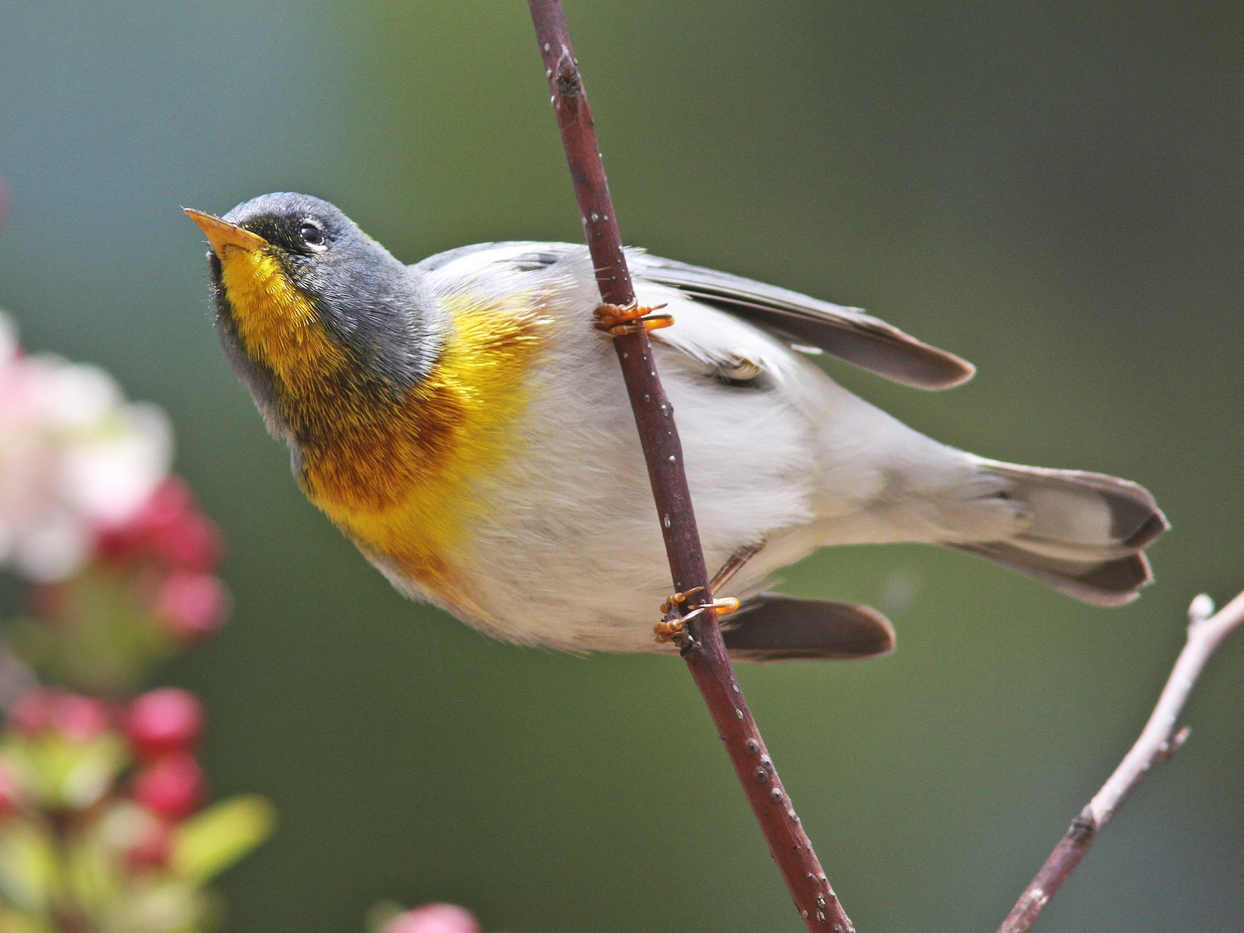 Northern Parula - Larry Therrien