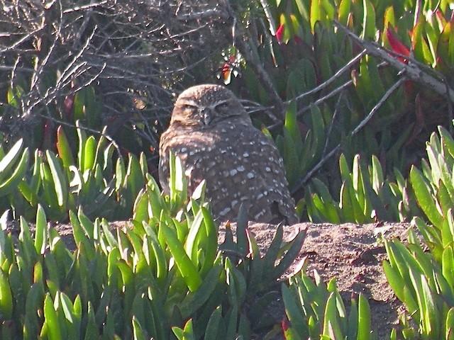 Burrowing Owl (Western)