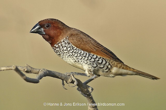 © Jens Eriksen - Scaly-breasted Munia