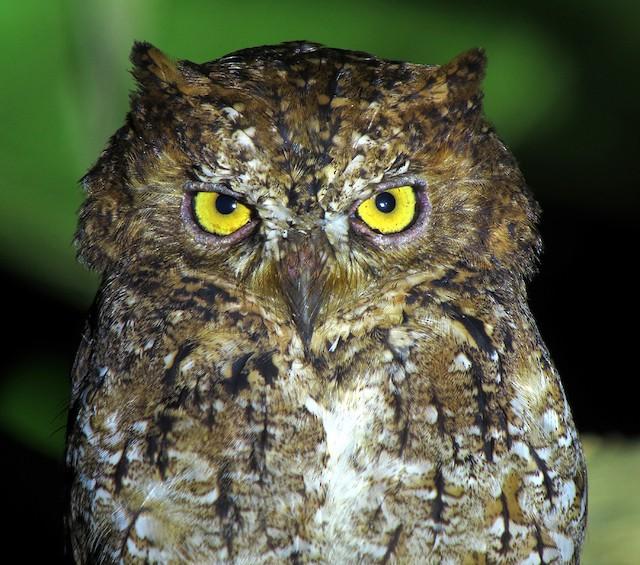 Sulawesi Scops-Owl