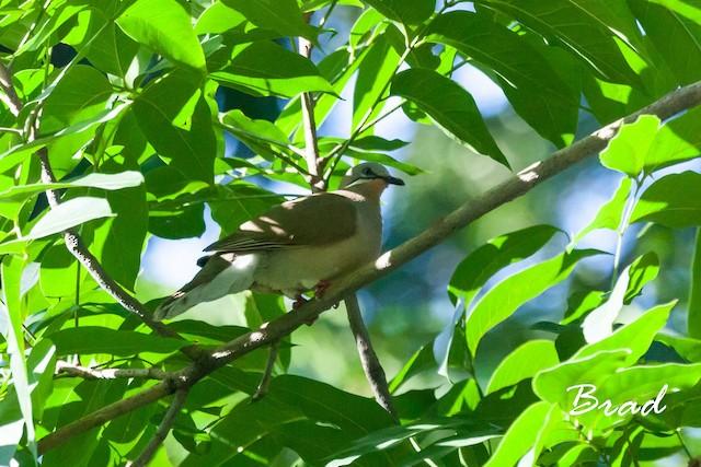 White-eared Brown-Dove