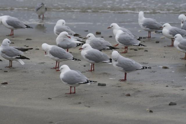 Silver Gull (Red-billed)