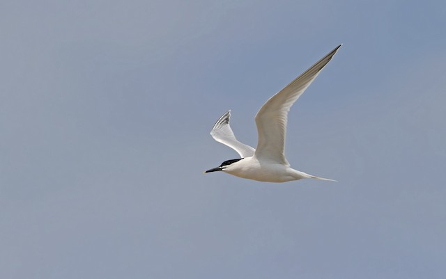 Sandwich Tern (Eurasian)