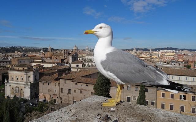 Yellow-legged Gull (michahellis)