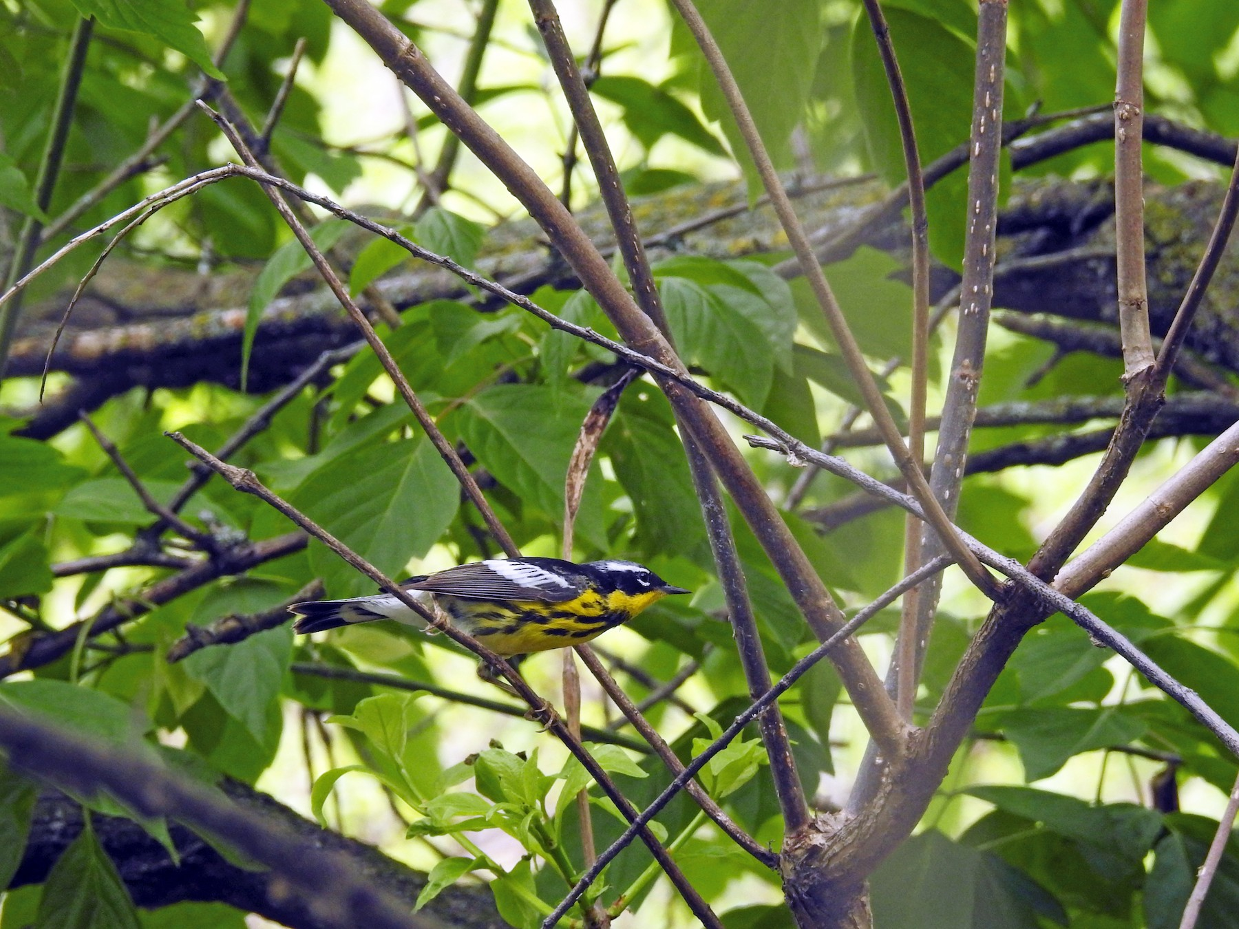 Magnolia Warbler - elwood bracey