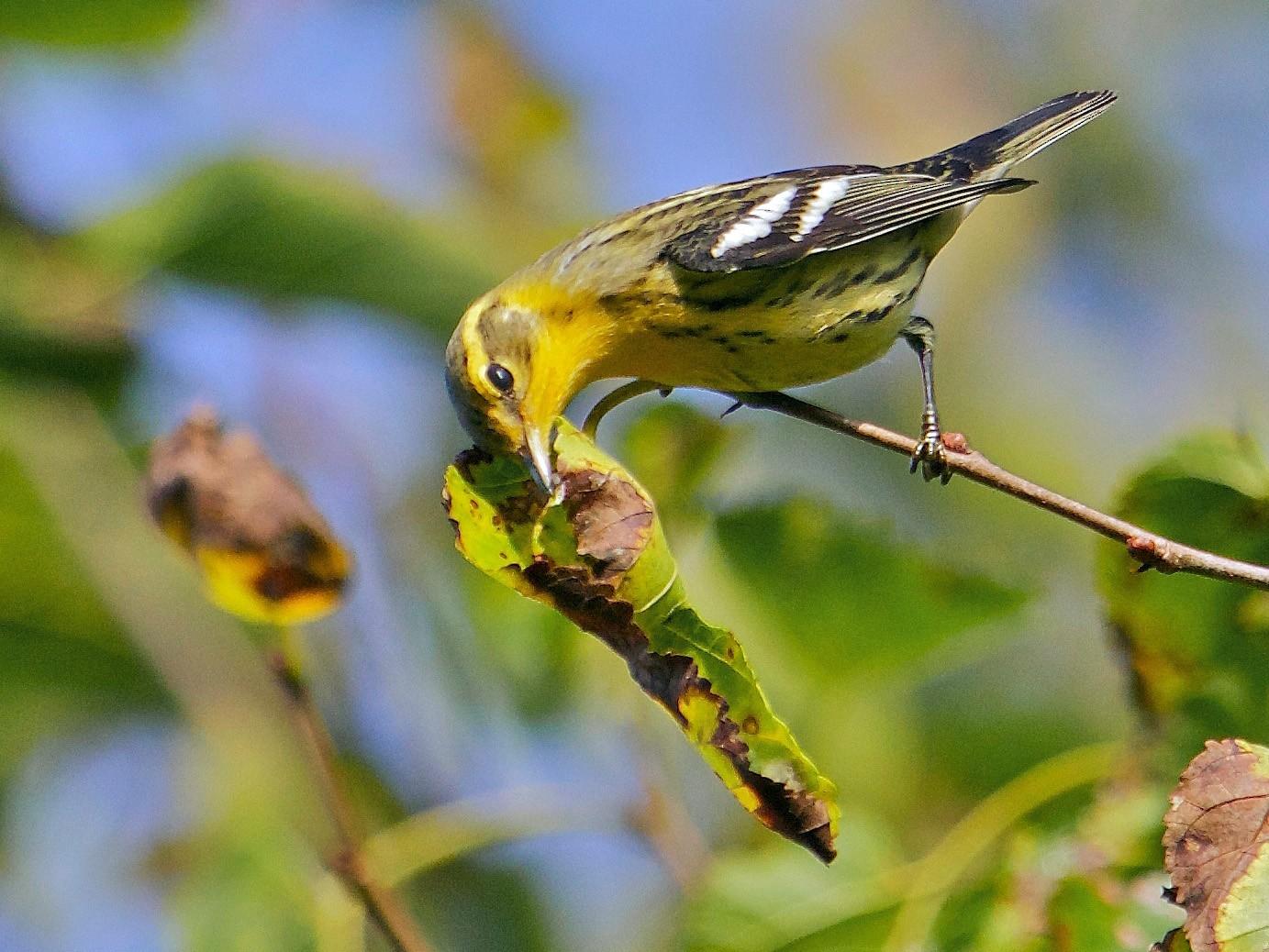 Blackburnian Warbler - Brian Lowry