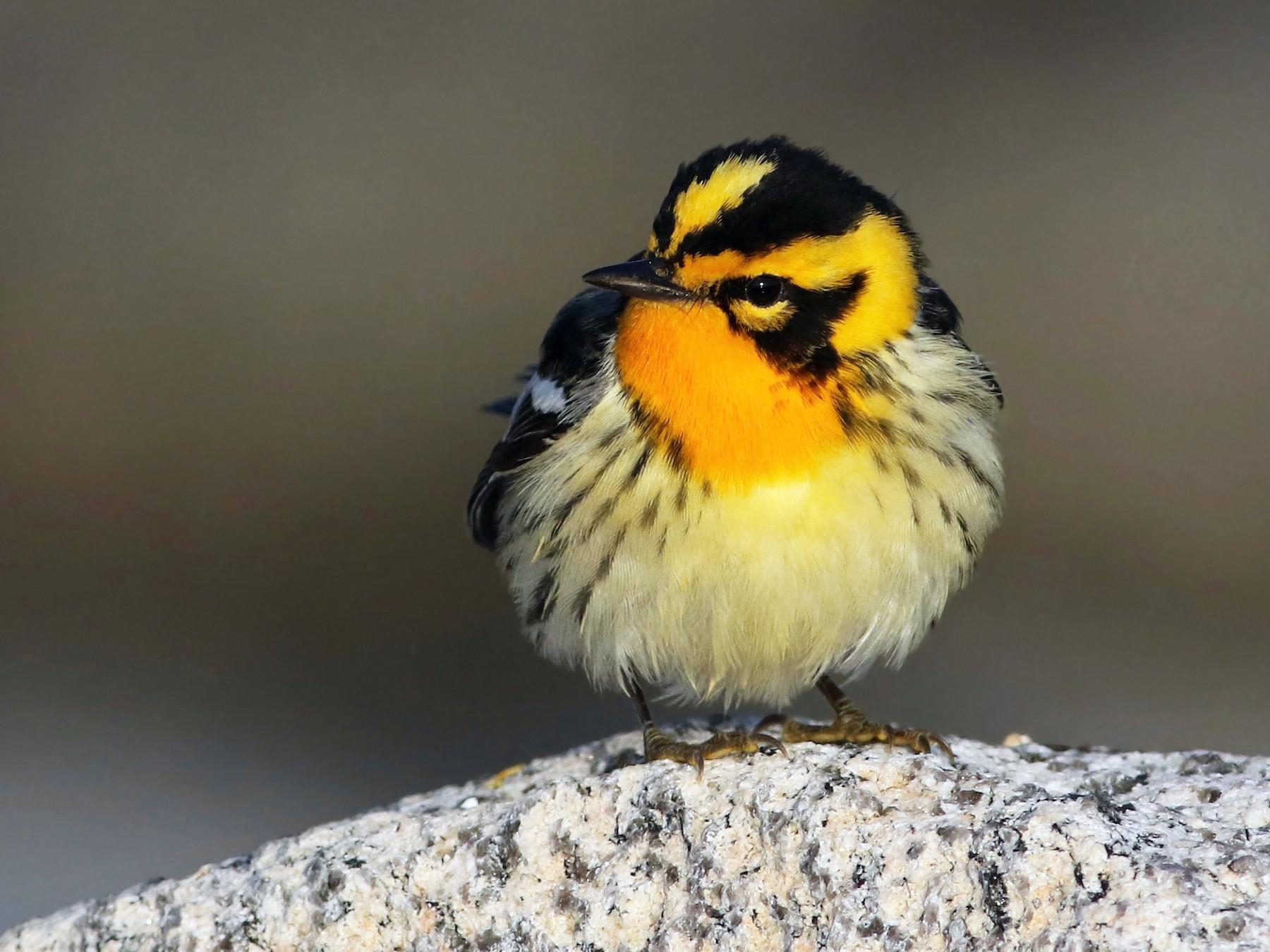 Blackburnian Warbler - Keenan Yakola
