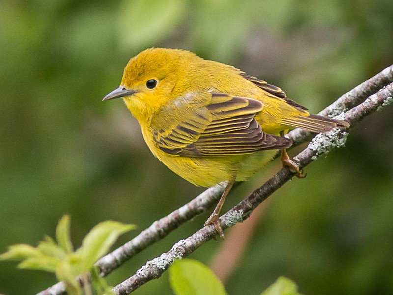 Yellow Warbler - Terry Boswell