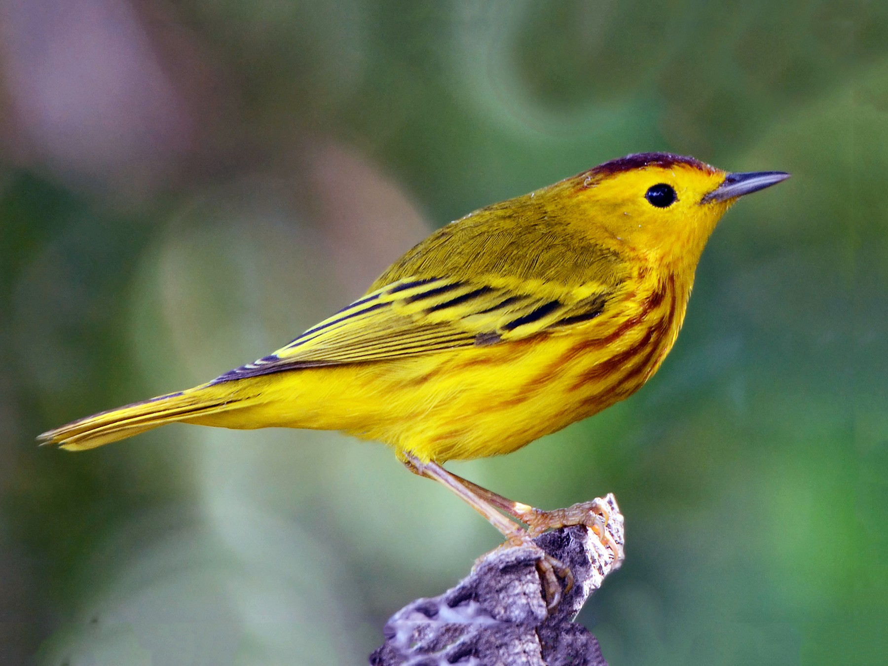 Yellow Warbler - Steven Mlodinow