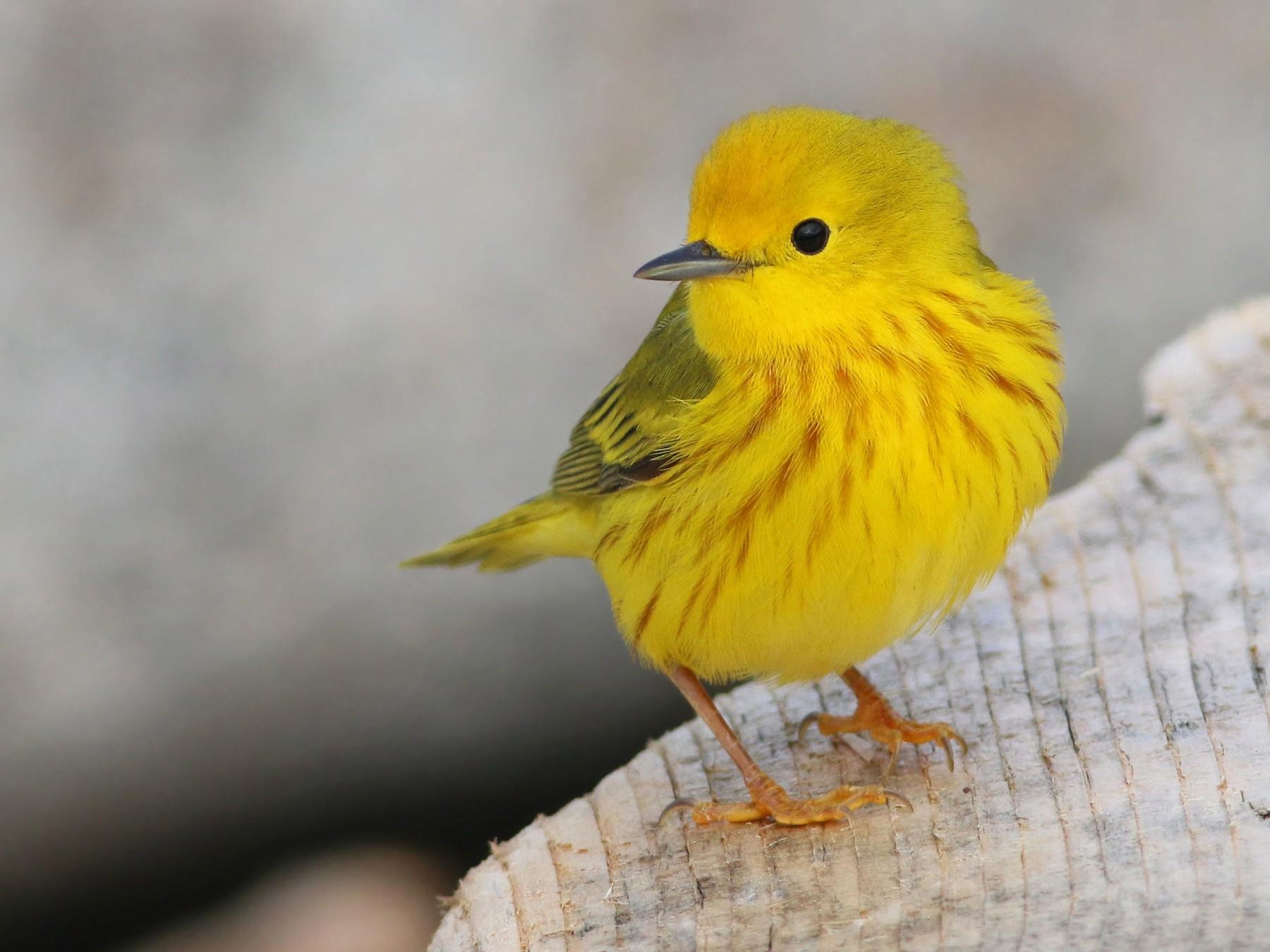Yellow Warbler - Keenan Yakola